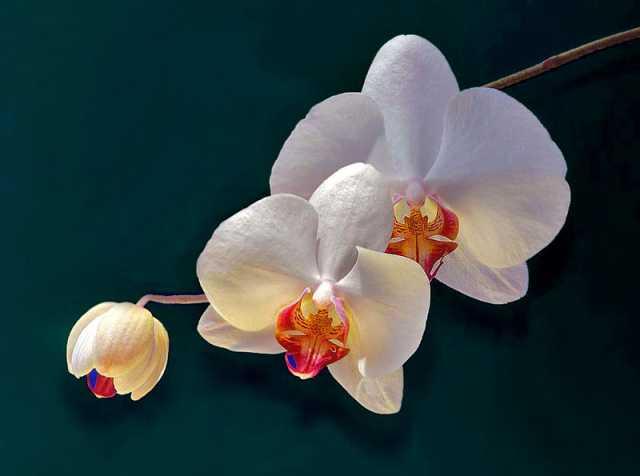 Rinvasare le orchidee orto botanico friulano for Orchidea pianta