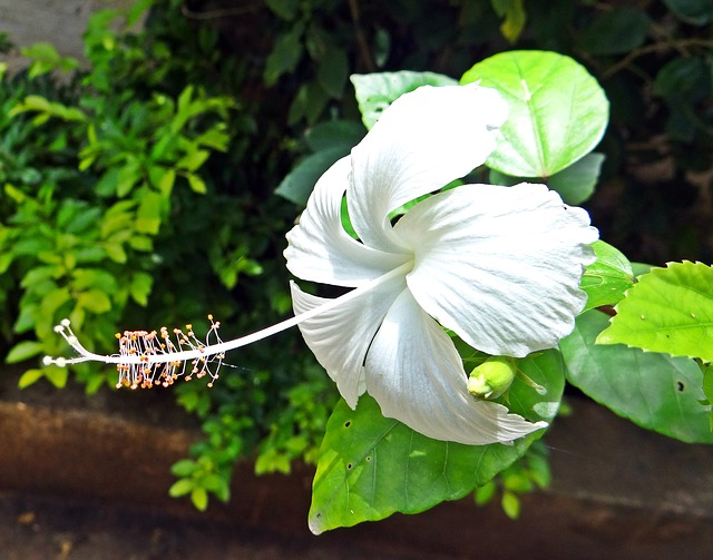 Hibiscus bianco