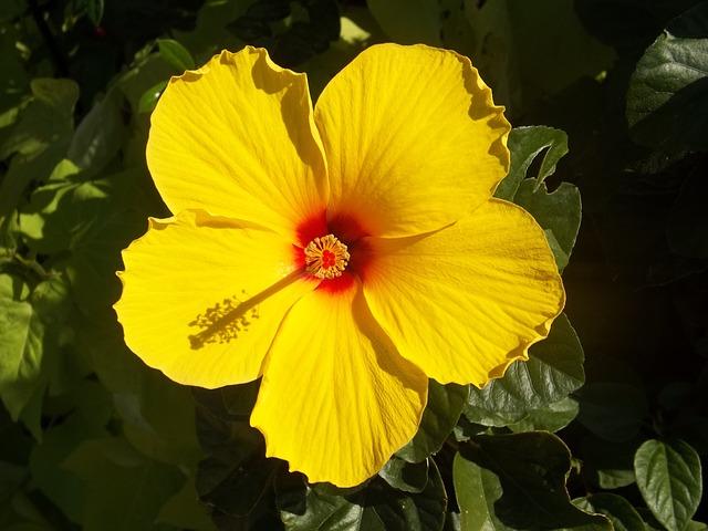 Hibiscus giallo